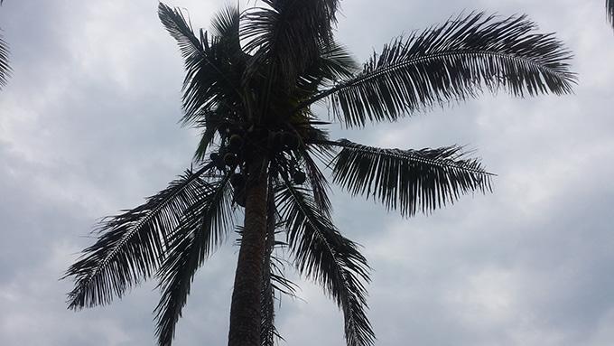 ココナツBukoの木